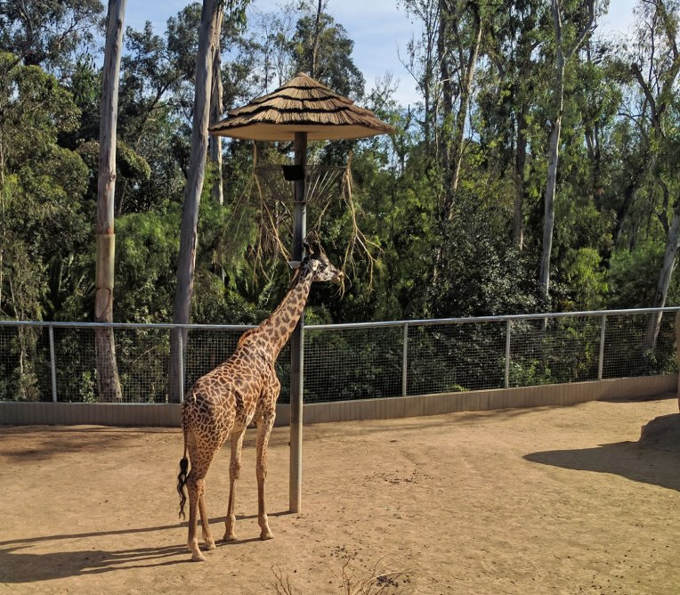 giraffe-san-diego