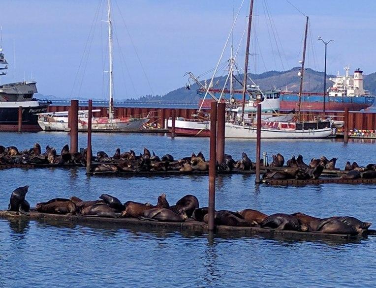 sea lions of Astoria